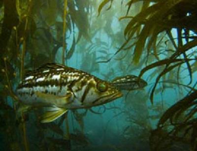 kelp-bass-underwater 400